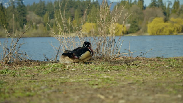 Wood Duck on Grass by Lake