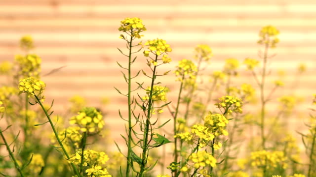 Wood Siding and Yellow Flowers video