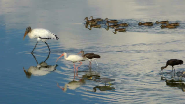 stockvideo's en b-roll-footage met wood stork leading a parade of feeding birds - snavel