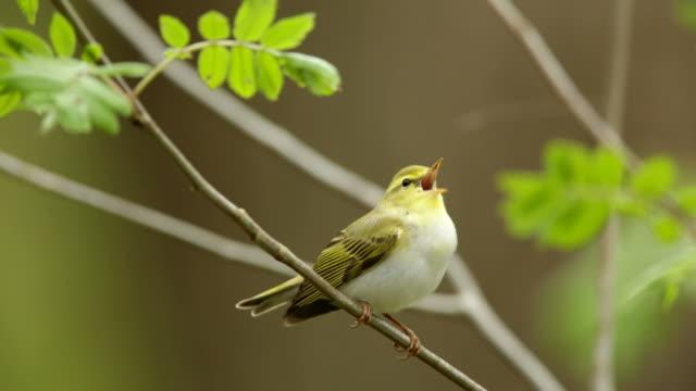 Wood Warbler (Phylloscopus sibilatrix) video