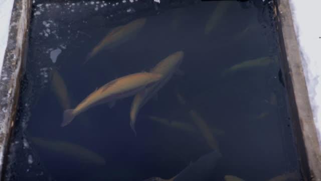 holzkiste im schnee fische schwimmen im wasser, im schnee im winter angeln - sonnenbarsch stock-videos und b-roll-filmmaterial