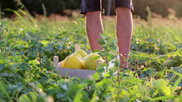 Wooden box with fresh yellow melons on the field, man puts melon in box, closeup Wooden box with fresh yellow melons on the field and farmer comes and puts melons in box. Working process of harvesting at organic eco farm, close-up. cultivated land stock videos & royalty-free footage