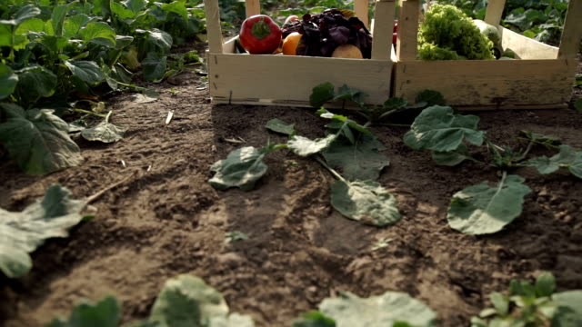 Wooden boxes with vegetables stand on the field video