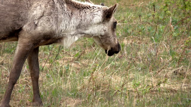 Woodland caribou browses shrubs Stone Mountain Provincial Park British Columbia Canada video