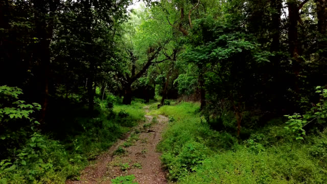 woodland mysterious landscapes - moving between trees in summer forest - dolly shot video stock e b–roll