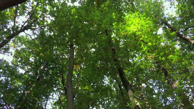 Woodland trees from below video