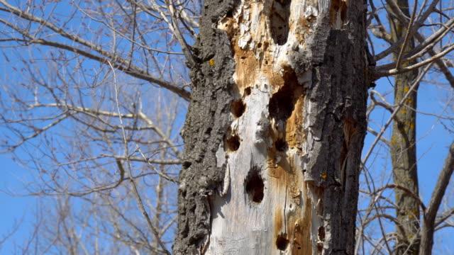 Woodpecker holes in dry tree video