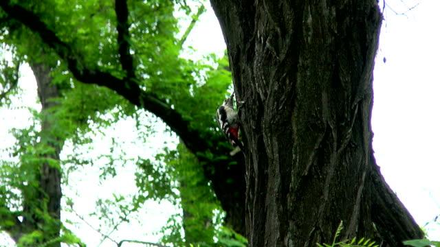 woodpecker hollows a tree. video