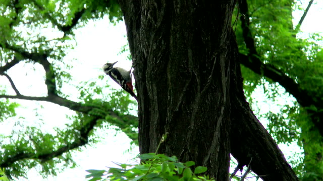 Woodpecker hollows a tree-2 video