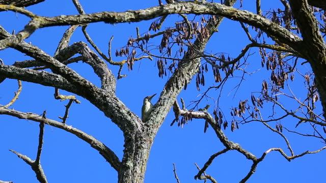 Woodpecker On A Tree video