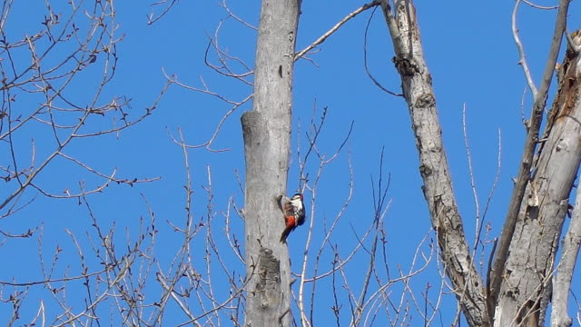Woodpecker on the trunk of a dry tree video