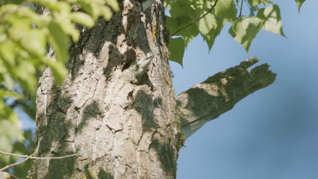 Woodpecker peeking out of a hole in a tree Wildlife of Mindelsee, in Radolfzell, Germany environmental consciousness stock videos & royalty-free footage