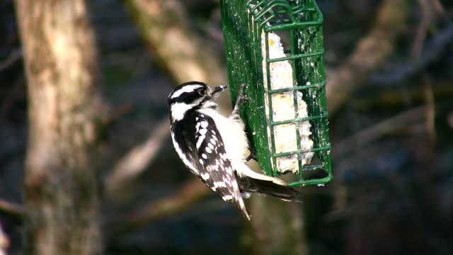 Woodpecker. video