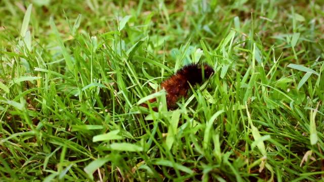 A Woolly Bear Caterpillar crawls along the grass in Pennsylvania field video