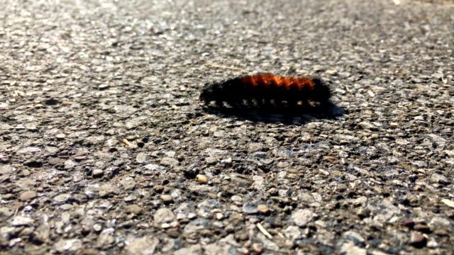 A Woolly Bear Caterpillar crawls along the sidewalk during daytime video