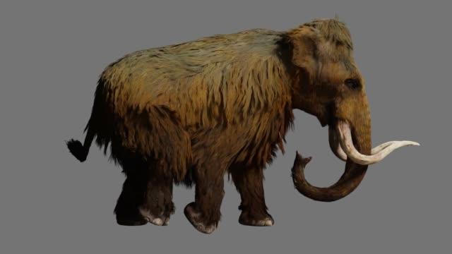 ullig mammut gå på grå bakgrund side view - utdöd bildbanksvideor och videomaterial från bakom kulisserna