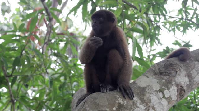 woolly monkey, Amazon, Peru video