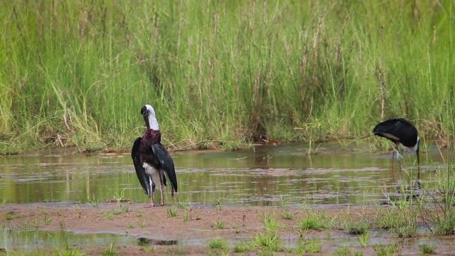 woolly necked stork in bardia national park, nepal - park narodowy kanha filmów i materiałów b-roll
