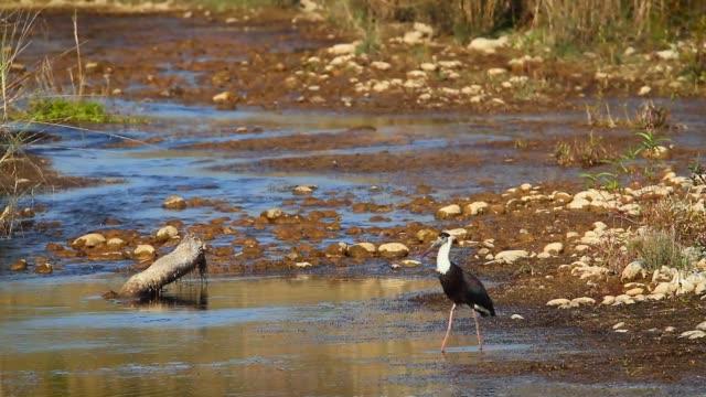 woolly-necked stork in bardia national park, nepal - park narodowy kanha filmów i materiałów b-roll