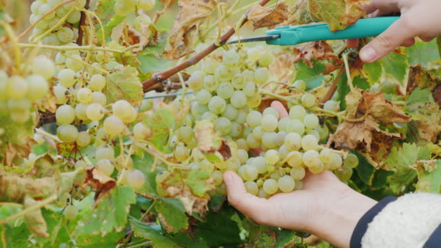 Work in the vineyard. Hands with scissors, carefully cut the bunches of grapes video