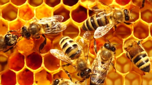 api operaie su macro favi. pettine al miele con polline, miele e nettare. estrazione del miele - apicoltura video stock e b–roll