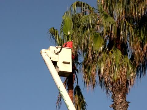 worker chain saws palm tree fronds / branches - skylift bildbanksvideor och videomaterial från bakom kulisserna