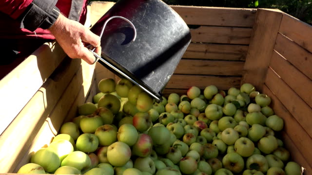 worker hand pour fresh apple harvest in wooden box in garden. fullhd - cestino video stock e b–roll