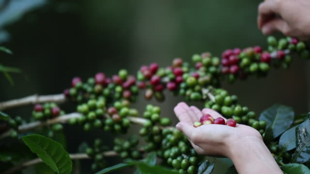 worker harvest arabica coffee berries sulla sua filiale, economia agricola industria business, salute cibo e stile di vita, nel nord della thailandia. - coffee farmer video stock e b–roll