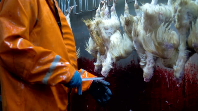 A worker in dry suit cuts chickens throats. video