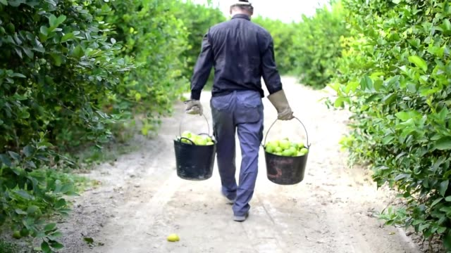 Worker picks and collect lemons in boxes at lemon plantation