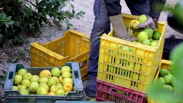 労働者はレモンプランテーションで箱にレモンをピックアップし、収集します - 収穫点の映像素材/bロール