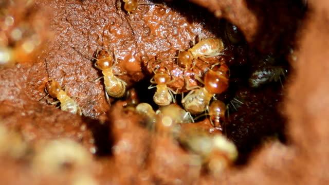Worker termites repair a termite mound Termites repair a mound isoptera videos stock videos & royalty-free footage