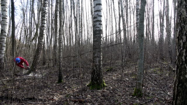 Worker with protective helmet cut birch tree in spring forest video