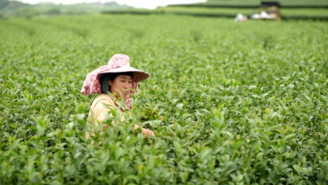 worker woman harvest green tea at the farm worker woman harvest green tea at the farm plantation stock videos & royalty-free footage