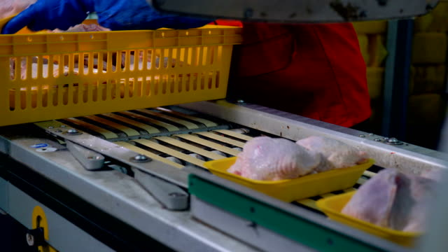 Workers hands place chicken meat containers on a factory line. video