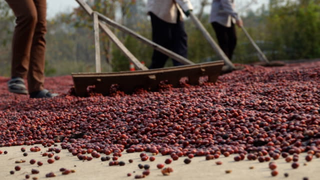 workers prepare fresh coffee beans to dry on the ground, coffee mill process, of northern thailand - coffee farmer video stock e b–roll