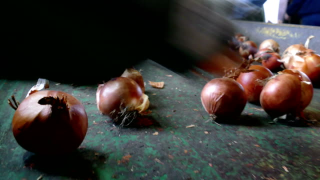 Workers select the Red Onion Workers on the conveyor belt select  of the domestic red onion red onions stock videos & royalty-free footage