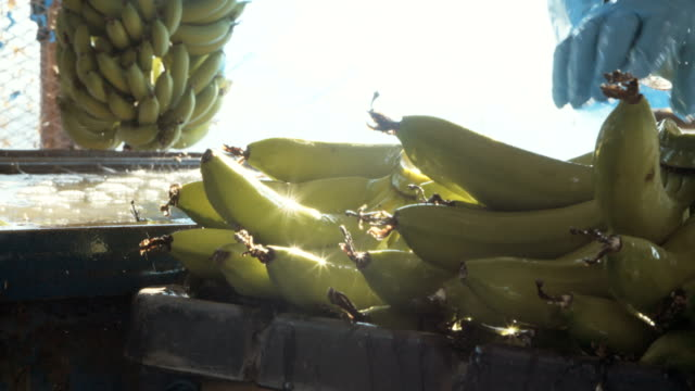 Workers washing bananas in water before packing during harvest video