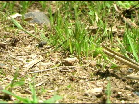 stockvideo's en b-roll-footage met working ants - natuurgrond