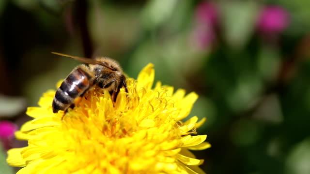 Die Biene auf Blüte – Video