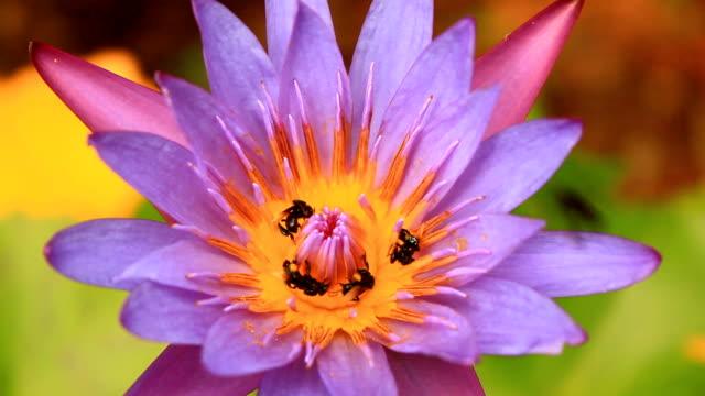 lavoro bees in lotus - inghilterra sud orientale video stock e b–roll
