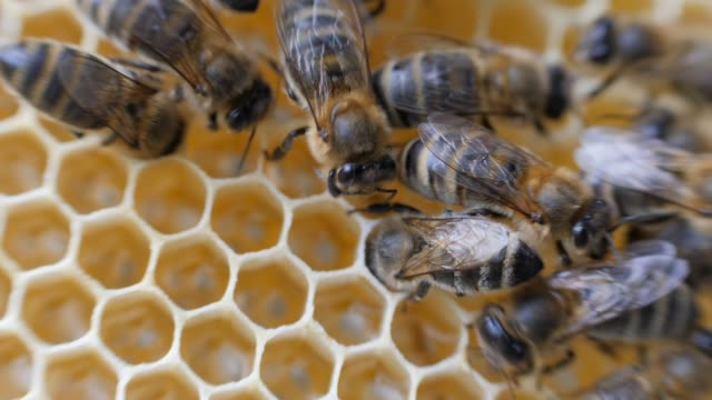 working bees work honeycomb with honey - favo video stock e b–roll