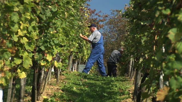 HD: Working In The Vineyard video