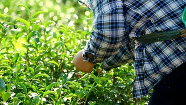 Os trabalhadores da colheita arbusto do chá verde na manhã, câmera lenta - vídeo