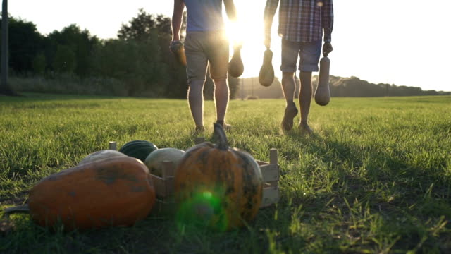 Working process of harvesting pumpkins on the eco farm at sunset