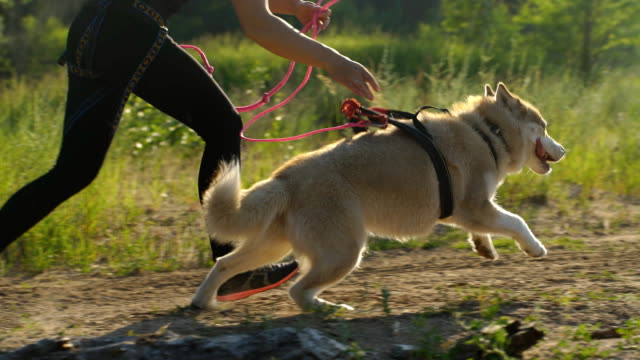 workout with dog. young caucasian female running with siberian husky dog - cane husky video stock e b–roll