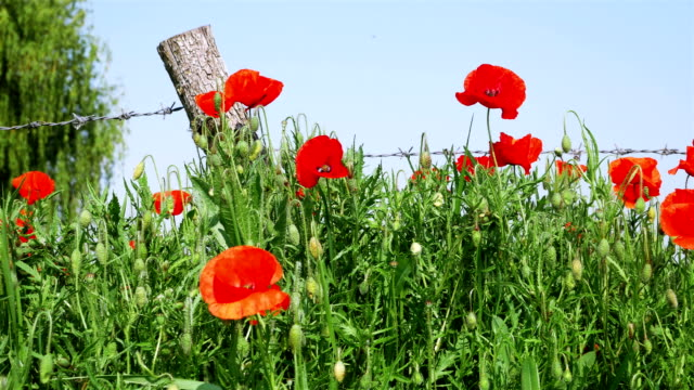 World War One symbol : red flower poppies and barbed wire video