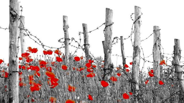 vídeos y material grabado en eventos de stock de símbolo de la primera guerra mundial: amapolas de flores rojo y alambre de púas - amapola planta
