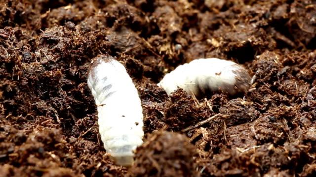 Worm beetles video