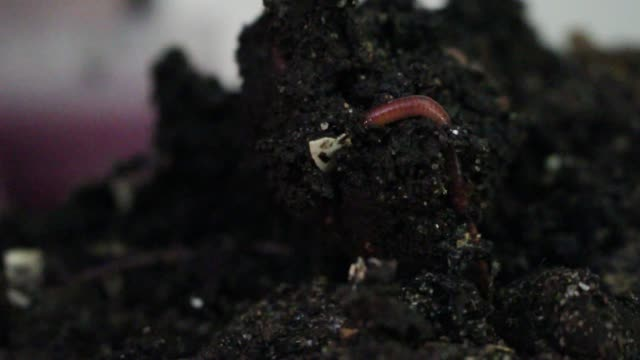 Worm moving through compost pile video